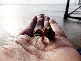 Hermit crab under Ryde Pier