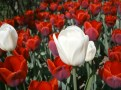 tulips13