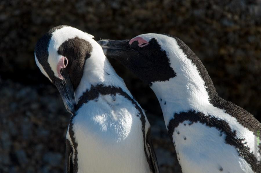 Afrikanische Pinguine Simons Town Boulders Beach