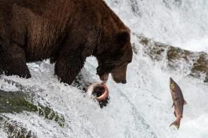 Fischer Bär