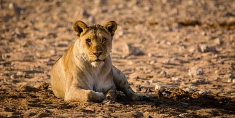 Liegender Löwe im Etosha Nationalpark Namibia Afrika
