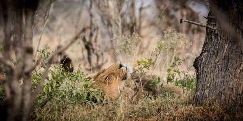 Löwe sonnt sich im Moremi Nationalpark Botswana