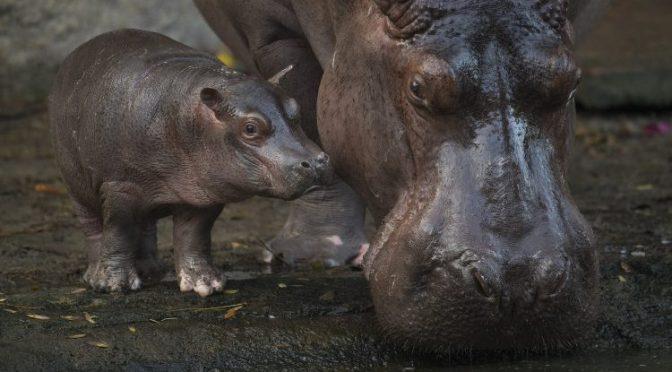Augustus – Das Baby Hippo in Disneys Animal Kingdom ist ein Junge!