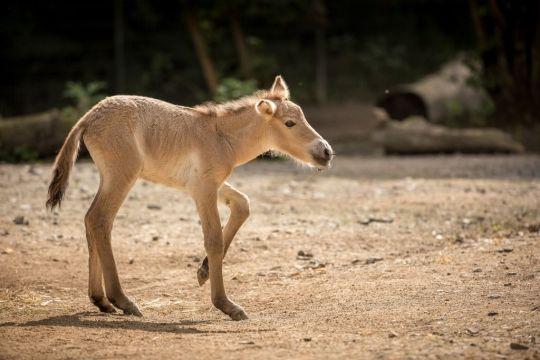 """Przewalskifohlen """"Luna"""" aus dem Kölner Zoo - Foto: Klaus Gierden"""
