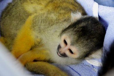 Ein Männchen und zwei Weibchen – das stellte nun der Tierarzt des Osnabrücker Zoos bei der Untersuchung der Totenkopfaffen-Jungtiere fest. - Bildquelle: Zoo Osnabrück (Lisa Josef)