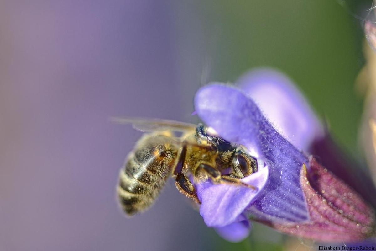 Abeille butinant une fleur de sauge officinale