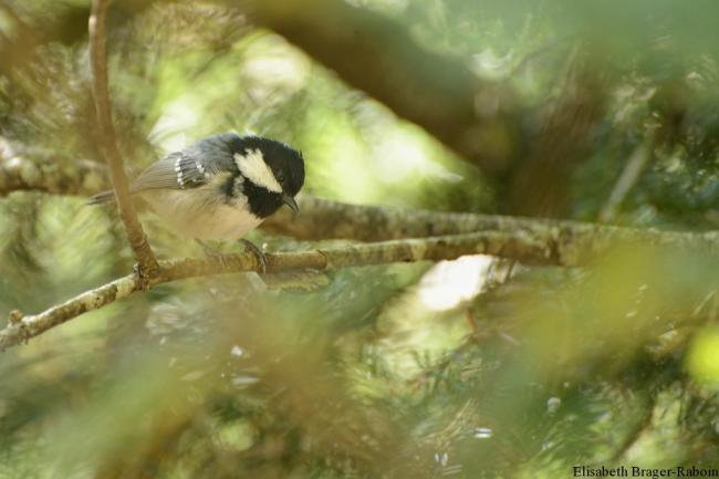 Mésange noire