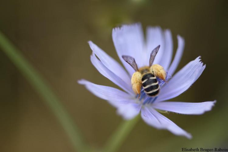 abeille solitaire