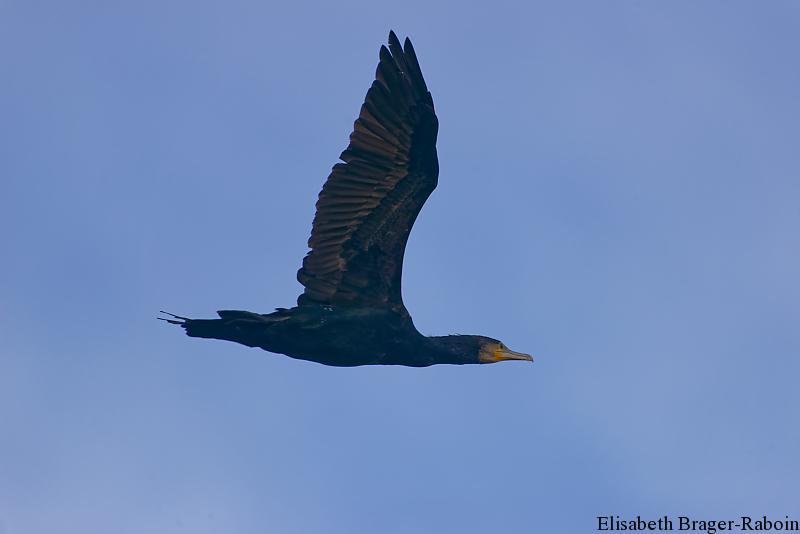 Le Grand Cormoran, ou Cormoran commun (Phalacrocorax carbo)