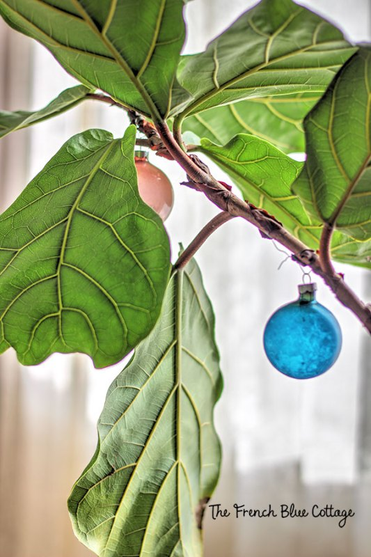 fiddle leaf fig plant with Christmas ornaments