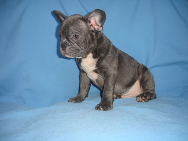 blue merle french bulldog puppies price - no merle french