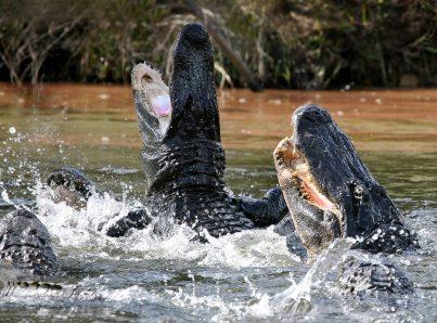 Manger Avec Les Alligators Restaurant Dans Les Everglades