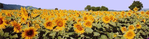 day0_img_sunflowerfield