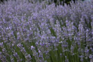 Say Lavender In French