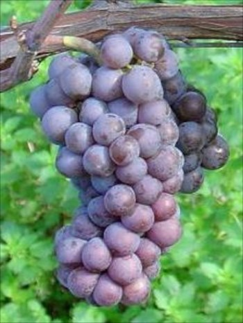 Pinot Gris Grappe © Andrew Fogg