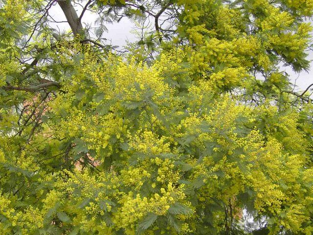 Mimosa ©  - licence [CC BY-SA 3