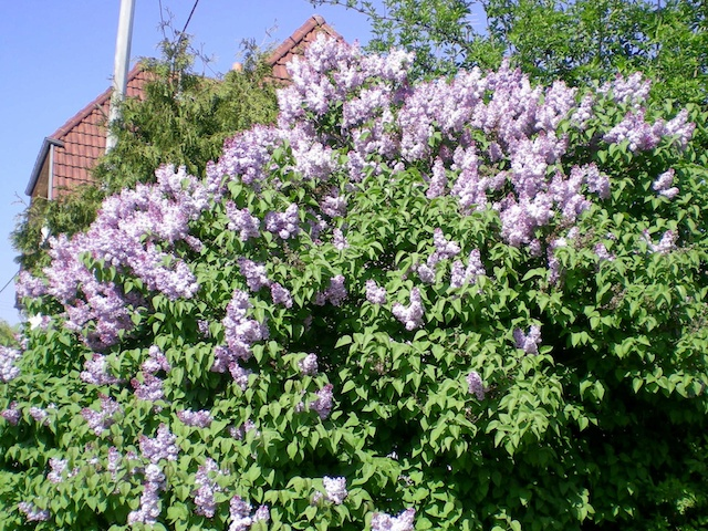 Lilac-coloured lilac © French Moments