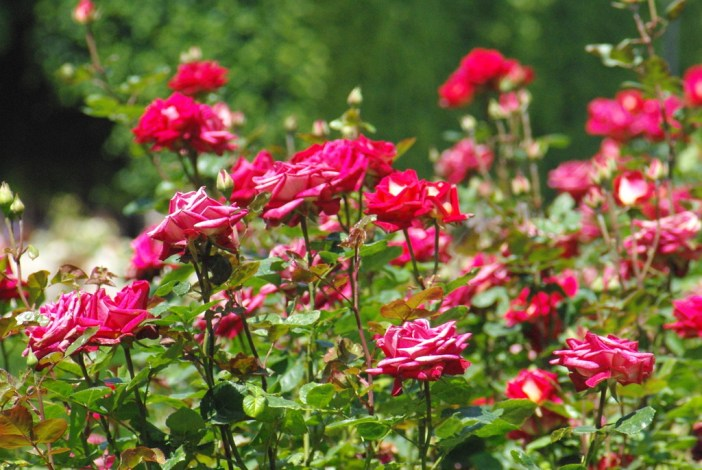 Rose bushes © French Moments