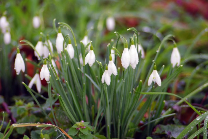 Snowdrops 01 © French Moments