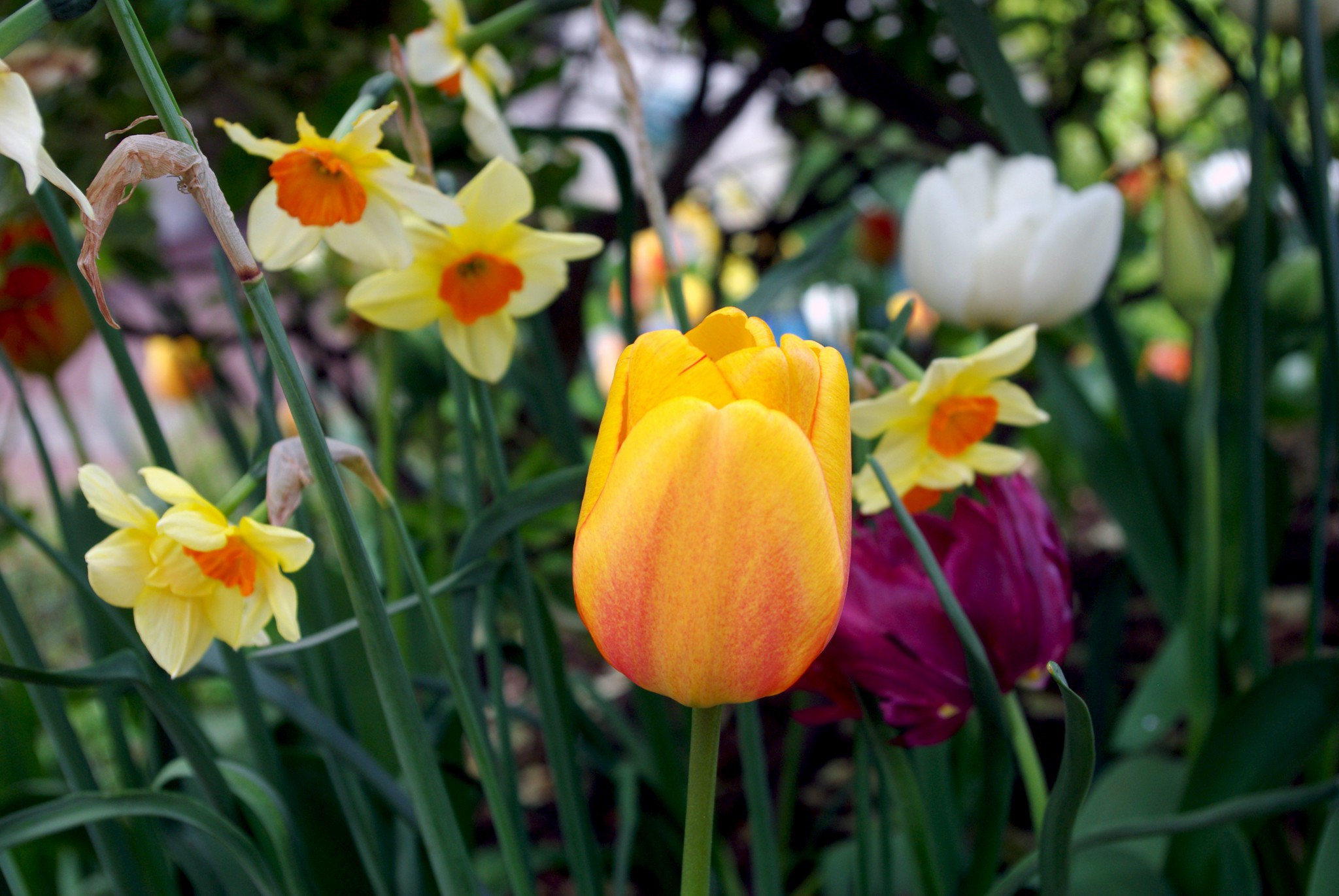 Colourful spring flowers in maisons laffitte french moments the flowers of our residences garden were looking great that morning the colourful tulips daffodils and pale narcissus seemed to have been planted just mightylinksfo Gallery