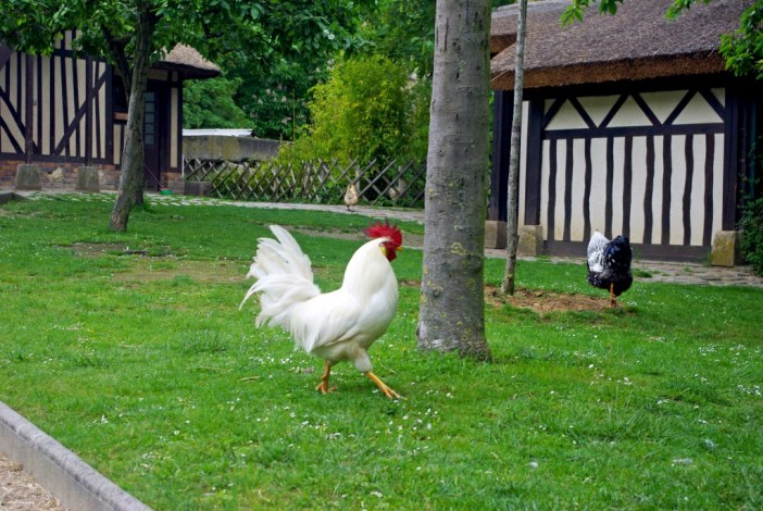 Rooster roaming free in the Jardin d'Acclimatation © French Moments