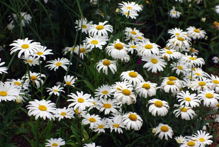 Marguerites Maisons-Laffitte 02 © French Moments