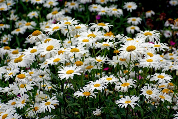 Marguerites Maisons-Laffitte 03 © French Moments