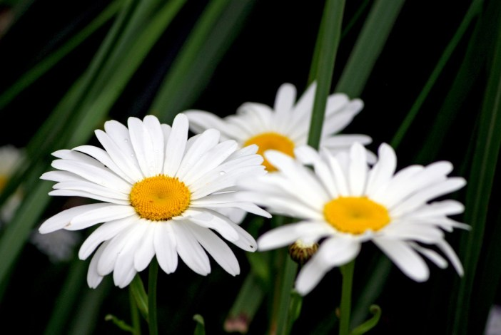 Marguerites Maisons-Laffitte 05 © French Moments