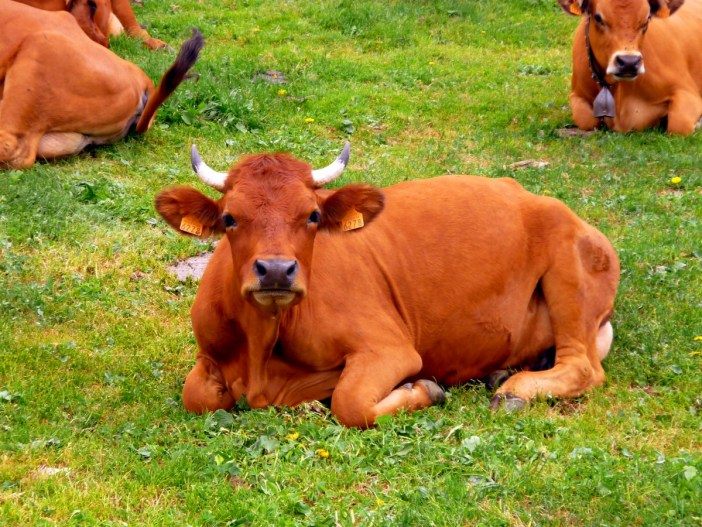 Tarine Cow in the Vanoise © French Moments