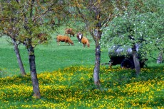 Cows in the Tarentaise © French Moments