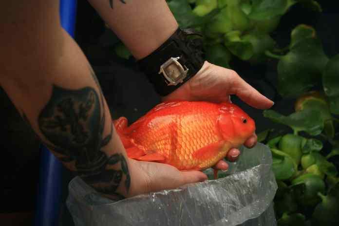 poisson-rouge
