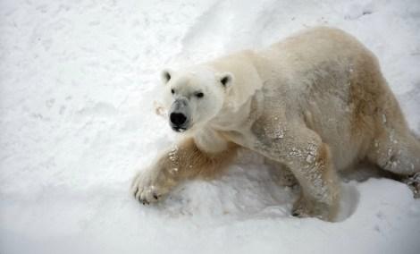 Pattes d'ours polaire
