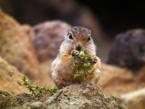 chipmunk-calico