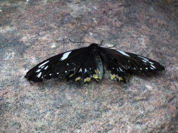 gros-papillon-noir-niagara-on-the-lake