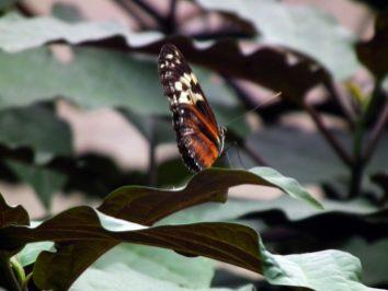 papillon-marron-niagara-on-the-lake