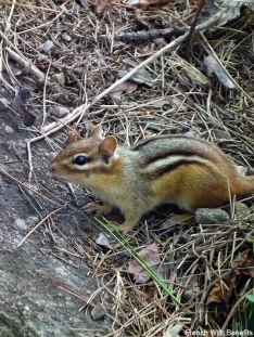 ecureuil-parc-algonquin