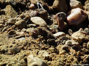 grenouille-parc-algonquin