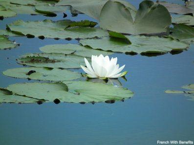 nenuphar-en-fleur-canada