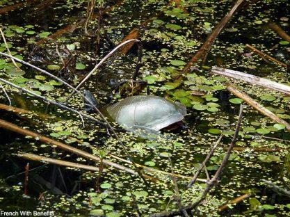 tortue-marecage-canada