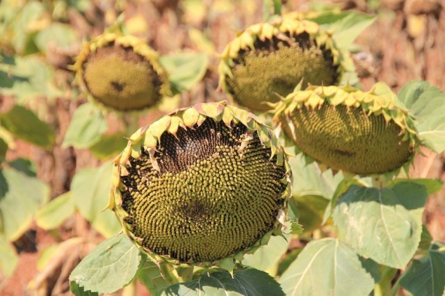 sunflower-80365_1280