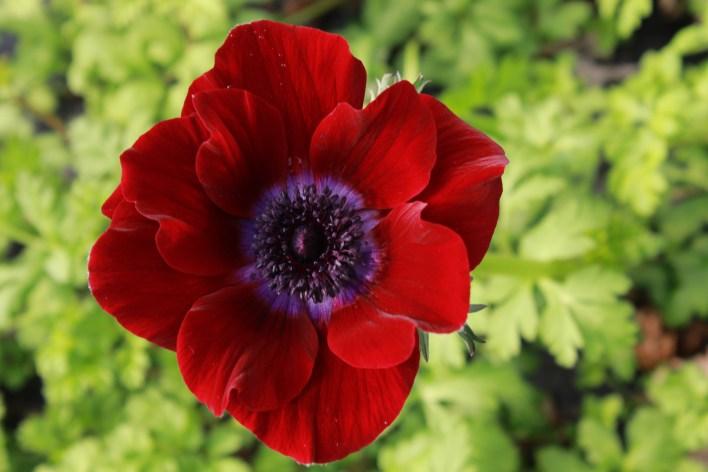 anemonesranunculusjanuary 018