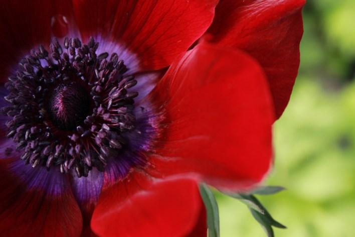 anemonesranunculusjanuary 025
