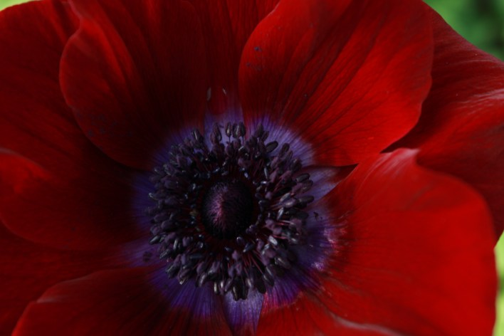 anemonesranunculusjanuary 027