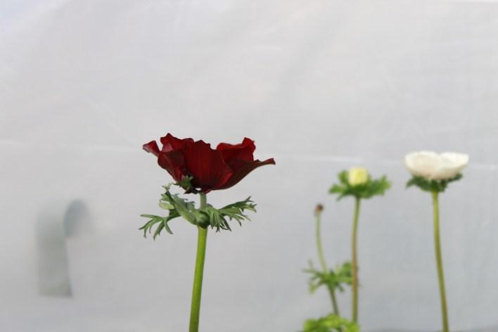 anemonesranunculusjanuary 100