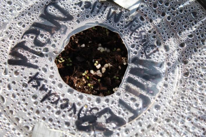 2.23 anemones.seed.bitter 036