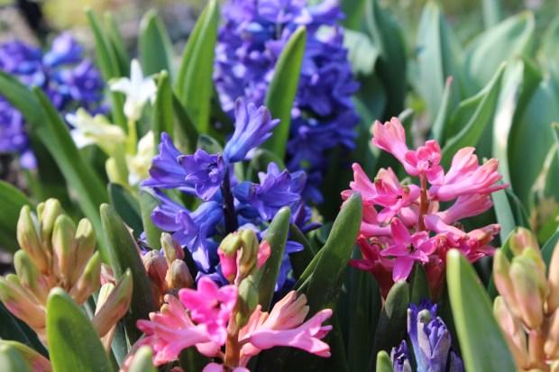 hyacinthsandotherstuff 016