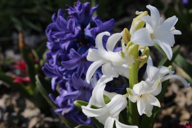 hyacinthsandotherstuff 017