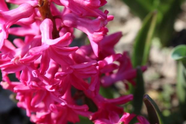 hyacinthsandotherstuff 018