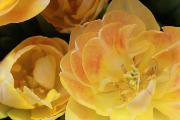 picking_tulips 065