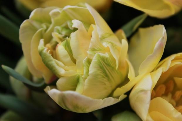 picking_tulips 067